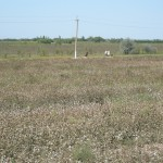 piantagione di cotone nel Khorezm (Bustan, Uzbekistan)