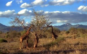 giraffe al Parco Tsavo (Kenya)