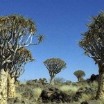 Kokerboom Forest (Namibia)