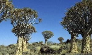 Kokerboom Forest (Namibia) sulla strada per il Fish River Canyon