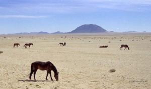 cavalli selvaggi del Garub Pan (Namibia)