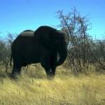 elefante al Parco Etosha (Namibia)