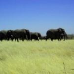 elefanti al Parco Etosha (Namibia)