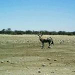 gemsbok al Parco Etosha (Namibia)