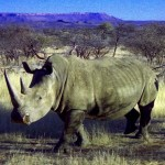 rinoceronte al Monte Etjo (Namibia)