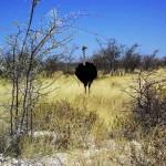 struzzo al Parco Etosha (Namibia)