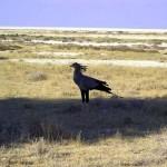 uccello segretario al Parco Etosha (Namibia)
