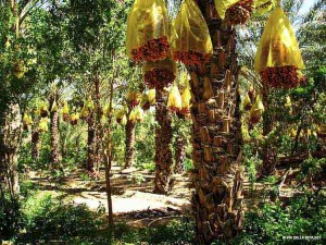 la palmeraie di Tozeur (Tunisia)