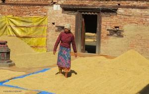 mondatura del riso (Bungamati, Nepal)