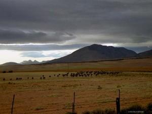 struzzi ad Oudtshoorn (Sud Africa)