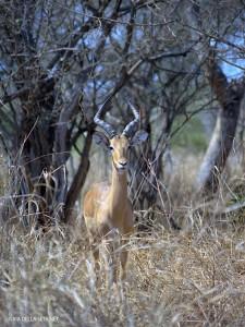antilope (Kruger Park, Sud Africa)