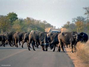 bufali (Kruger Park, Sud Africa)
