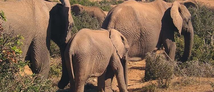 elefanti (Addo Elephant National Park, Sud Africa)