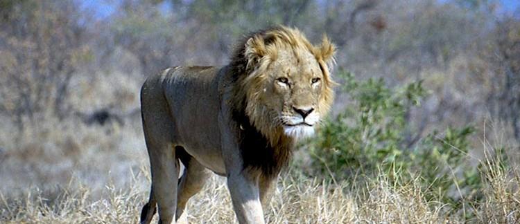 leone (Kruger Park, Sud Africa)