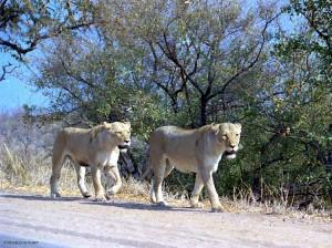 leonesse (Kruger Park, Sud Africa)