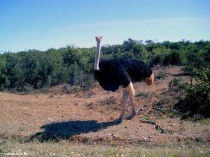 struzzo nel Addo Elephant Park (Sud Africa)