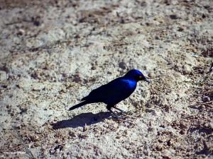 uccello al Kruger Park (Sud Africa)