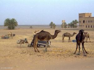 accampamento con dromedari (Merzouga, Marocco)