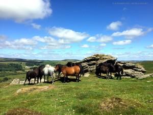 Dartmoor Forest, cavalli nella brughiera (Inghilterra)