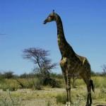giraffa al Parco Etosha (Namibia)