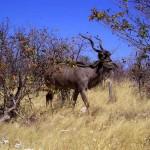 kudu al Parco Etosha (Namibia)