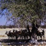 springbok al Parco Etosha (Namibia)