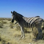 zebra al Parco Etosha (Namibia)