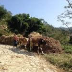 vacche al pascolo a nord di Sankhu (Nepal)